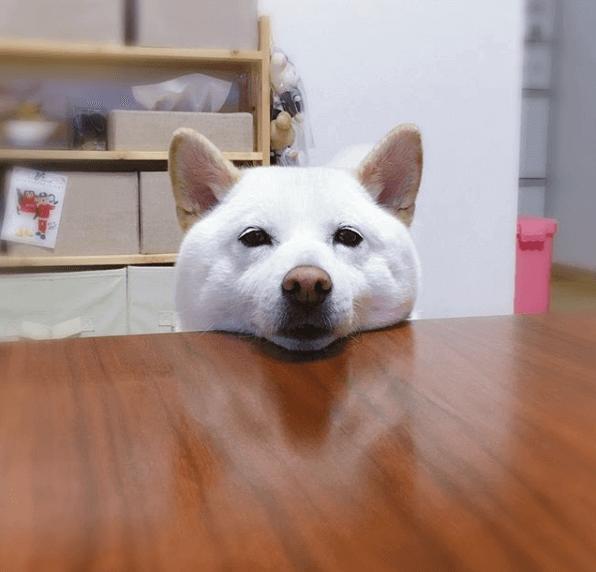 Shiba Inu Blanc la tête sur la table