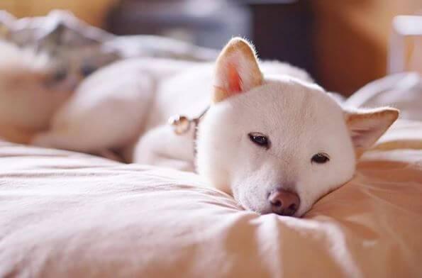 Shiba Blanc couché