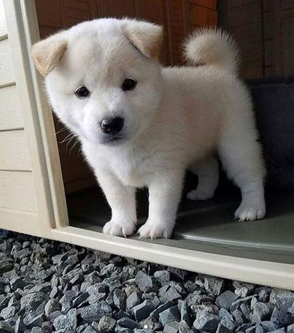 Bébé Shiba Inu Blanc