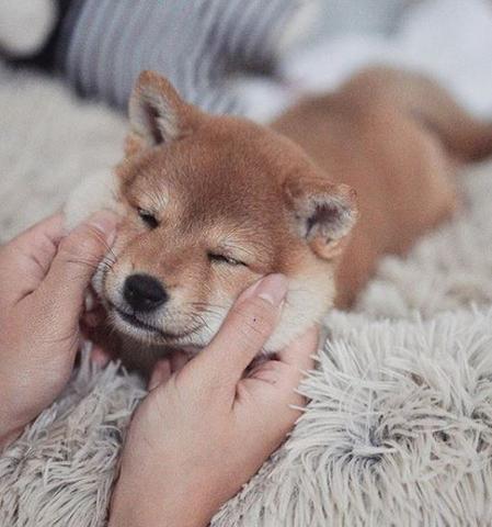 Bébé Shiba Inu